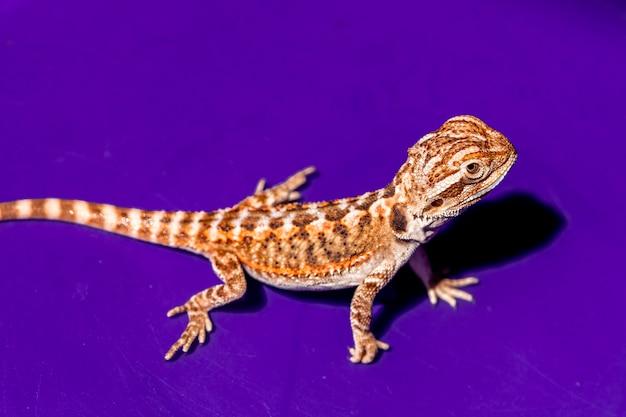 フトアゴヒゲトカゲのpogonavitticepsは、アガマ科のトカゲの一種です