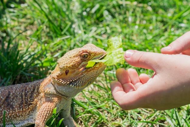緑の芝生の上のひげを生やしたドラゴン(pogona vitticeps)のクローズアップ。エキゾチックな家庭用ペット。