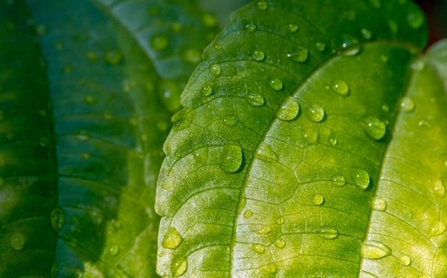 Pohpohan(pilea melastomoides)は、自然の背景として、ジャワ島、スマトラ島、バリ島、インドネシアで非常に人気のある野生野菜である水しぶきを残します