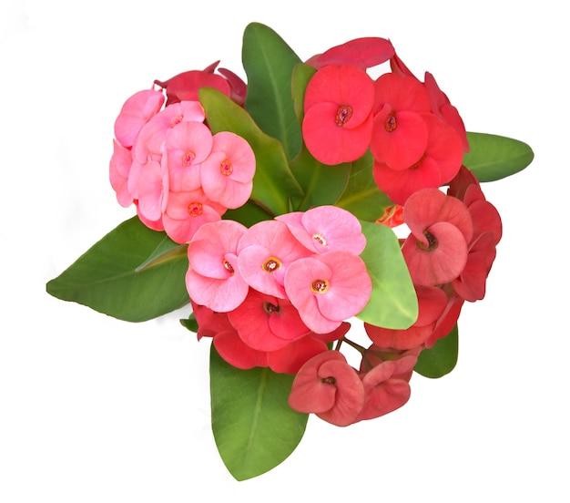포이 시안 꽃