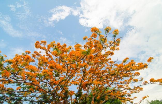 Королевское дерево poinciana (delonix regia), известное как пламя или цветок павлина