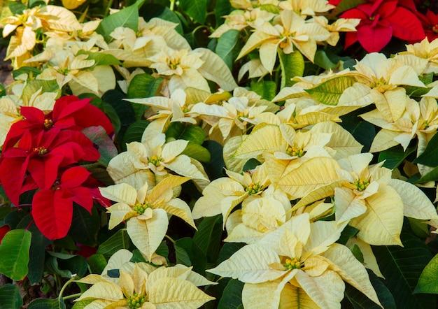 Poinsetia flowers flowerbed
