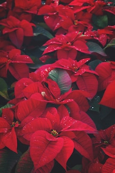 Poinsetia red flowers