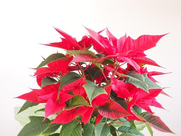 Рождественская звезда пуансеттия