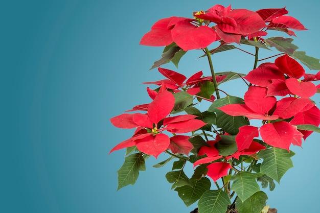 青い背景と側面のテキストのためのスペースとクリスマスのポインセチアの花