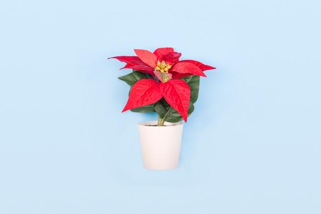 Пуансеттия на рождество или новый год в белом горшочке