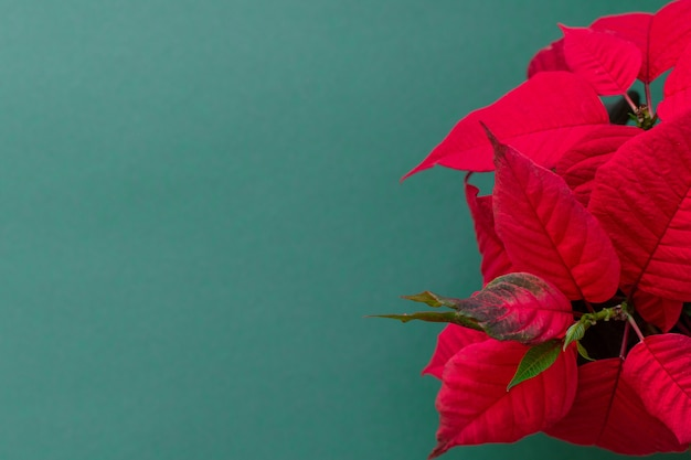 The poinsettia on green wall, also known as christmas flower, christmas floral decoration, red and green foliage