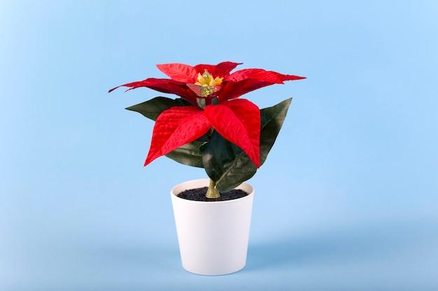 Пуансеттия со звездными цветами на рождество в белом горшке на синем