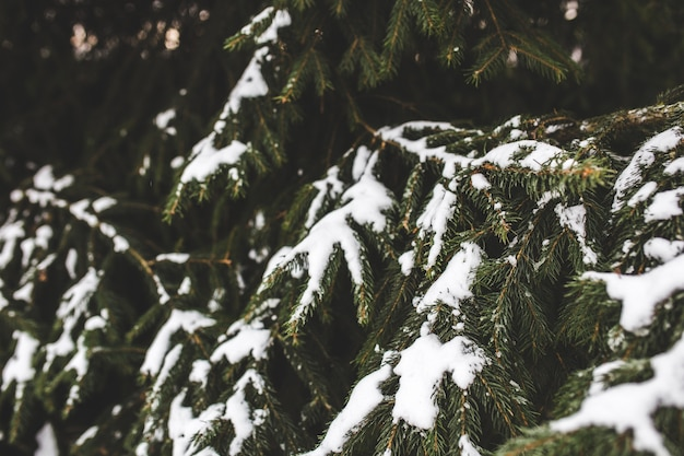 Pointy leaves of a pine with snow