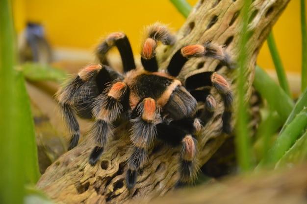 Poison striped spider in england.
