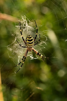 A poisonous agriope spider sits on a web.