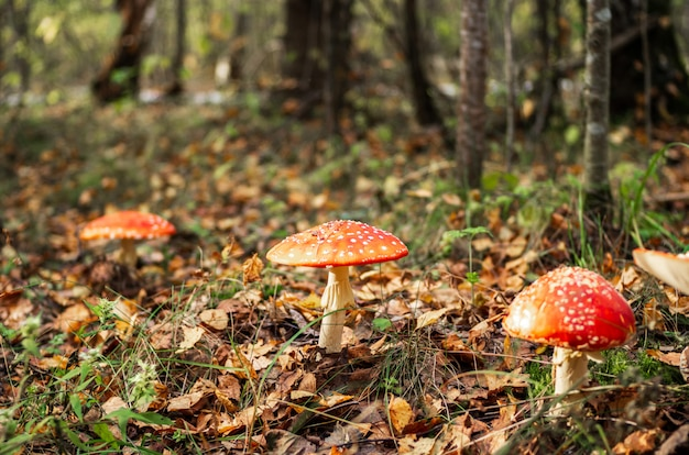 Poisonous amanita mushrooms grow in a forest glade.