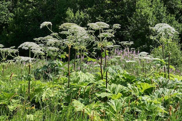유독 한 침입 잡초 sosnovsky hogweed가 초원에서 자랍니다.