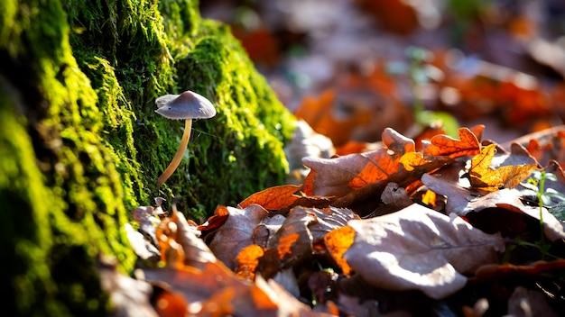 晴天時の苔むした木の森の中の有毒キノコ