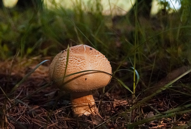 Poisonous mushroom sticks out from under fallen leaves and needles in the autumn forest