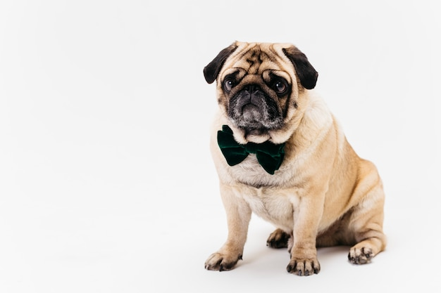 Poker face apricot fawn pug in bow tie