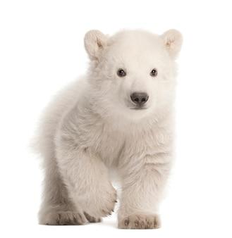 Белый медвежонок, ursus maritimus сидит на белом фоне