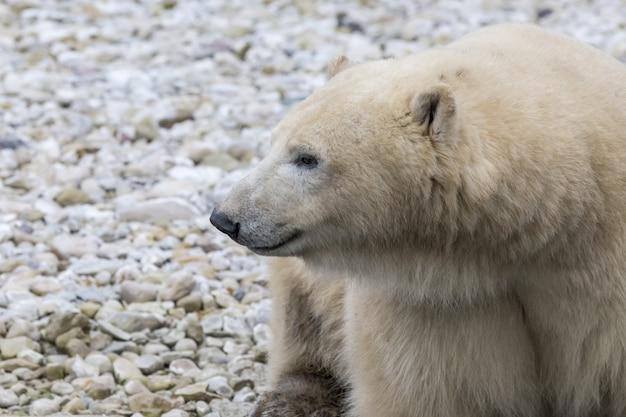 Белый медведь в естественной среде обитания