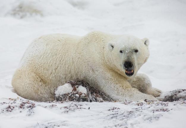 ホッキョクグマはツンドラの雪の中に横たわっています。カナダ。チャーチル国立公園。