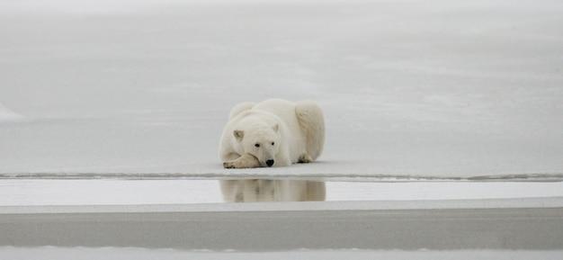 북극곰은 툰드라의 눈 속에 누워 있습니다. 캐나다. 처칠 국립 공원.