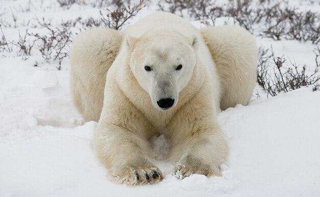 Polar bear is lying in snow in the tundra. canada. churchill national park.