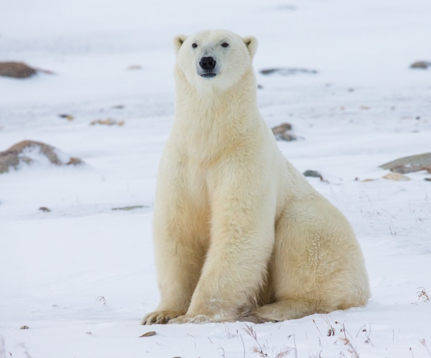 북극곰은 툰드라의 눈에 앉아 있습니다. 캐나다. 처칠 국립 공원.