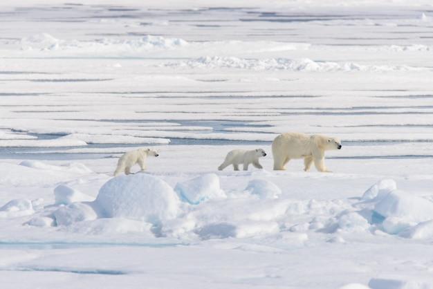 Мать белого медведя (ursus maritimus) и двое детенышей на паковом льду, к северу от шпицбергена, арктика, норвегия