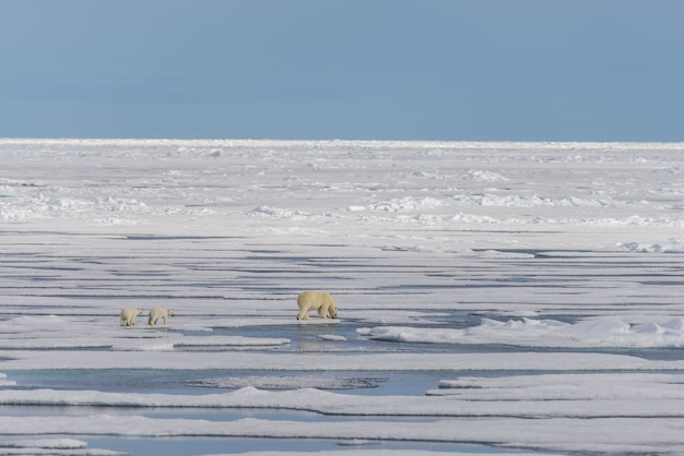 Мать белого медведя (ursus maritimus) и детеныши-близнецы на паковом льду, к северу от шпицбергена, арктическая норвегия
