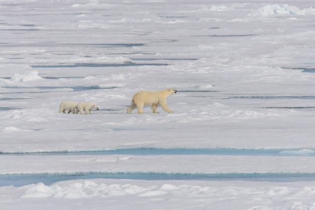 Мать белого медведя (ursus maritimus) и детеныши-близнецы на паковом льду, к северу от шпицбергена, арктическая норвегия Premium Фотографии