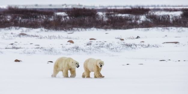 툰드라에 북극곰. 눈. 캐나다.