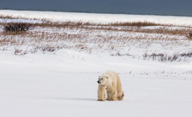 ツンドラのホッキョクグマ。雪。カナダ。
