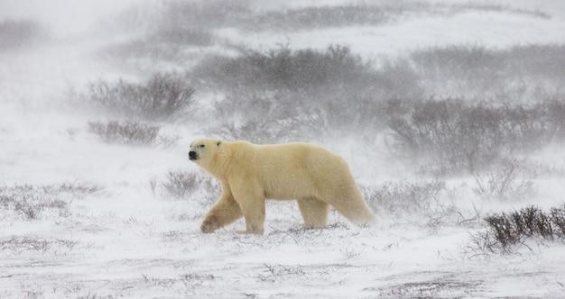 Белый медведь сидит на снегу в тундре.