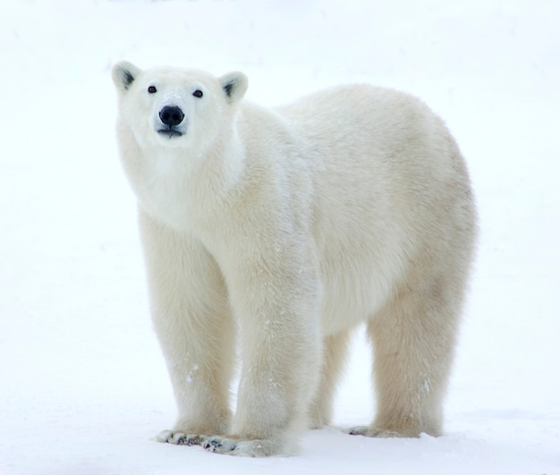 Polar bear standing in field