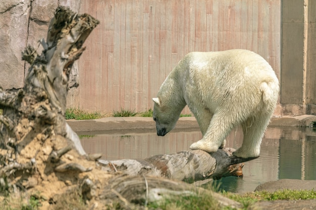 Polar bear standing on a tree branch surrounded by water under sunlight in a zoo