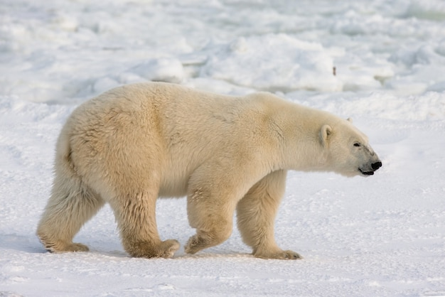 Polar bear on the tundra. snow. canada.