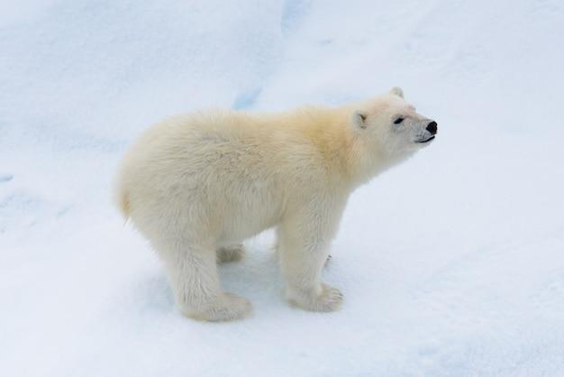 Детеныш белого медведя (ursus maritimus) на паковом льду к северу от шпицбергена арктика норвегия