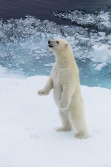 Детеныш белого медведя (ursus maritimus) стоит на паковом льду к северу от шпицбергена