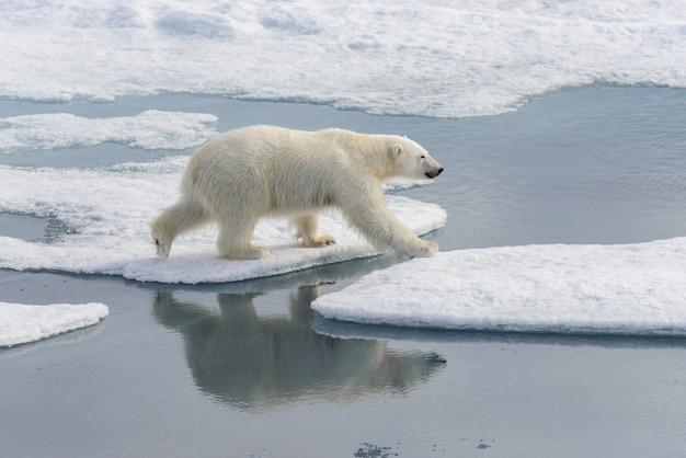 Белый медведь ursus maritimus на паковом льду к северу от острова шпицберген шпицберген норвегия