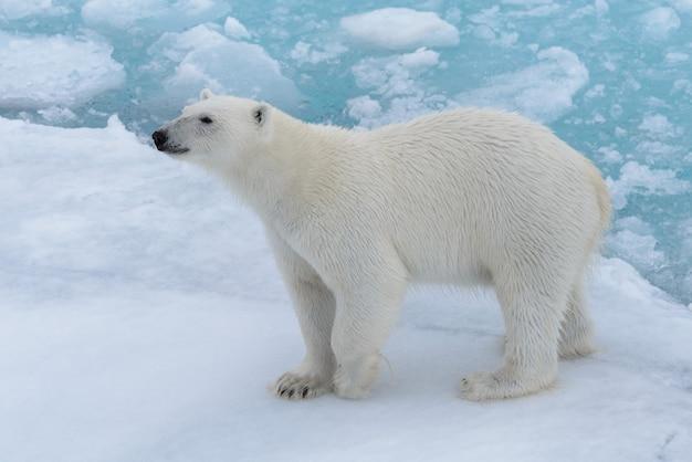 Белый медведь ursus maritimus на паковом льду к северу от острова шпицберген шпицберген