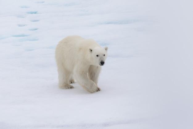 스피츠 베르겐 섬 북쪽의 팩 아이스에 북극곰 (우수 스 maritimus)