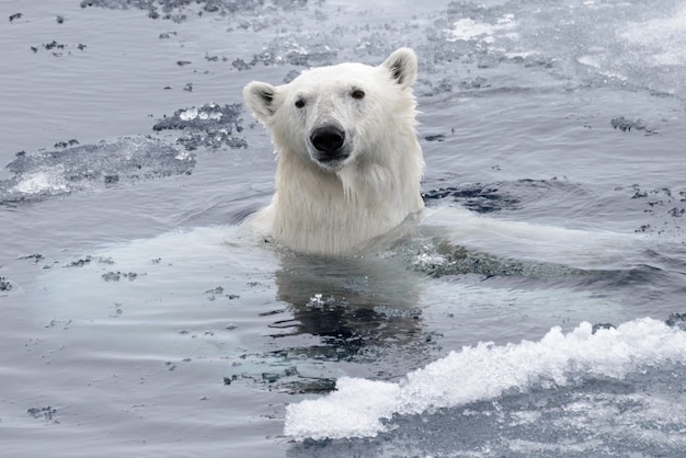 Белый медведь (ursus maritimus) плавание в арктическом море крупным планом