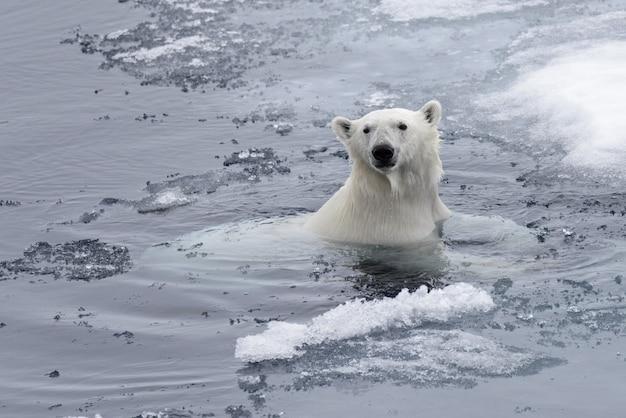 북극해에서 수영하는 북극곰 (우수 스 maritimus)