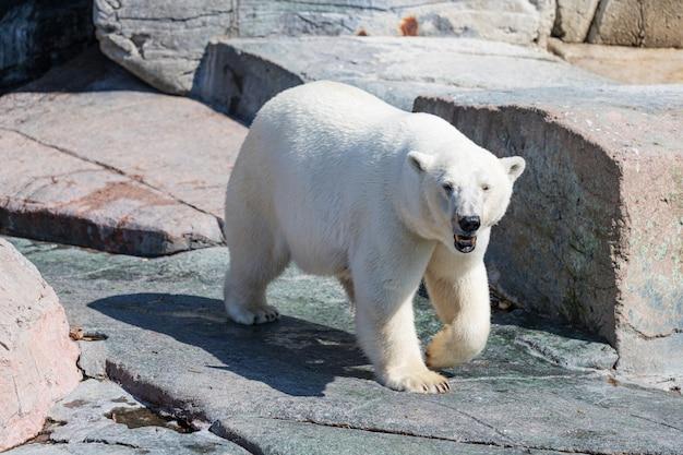 공원에서 산책하는 북극곰 프리미엄 사진