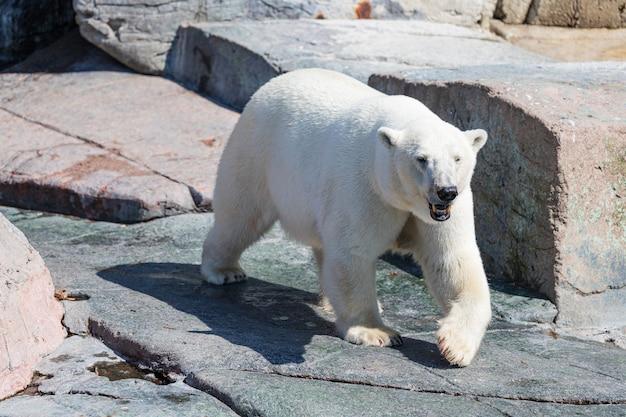Белый медведь гуляет в парке