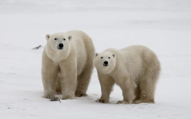 툰드라에 새끼와 북극곰. 캐나다.