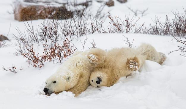 Белый медведь с медвежатами в тундре. канада.