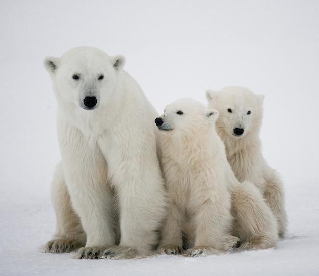 Белые медведи играют друг с другом в снегу