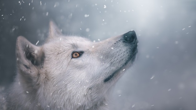 The polar wolf looks at the snow. portrait. beautiful wallpaper. cool shades.