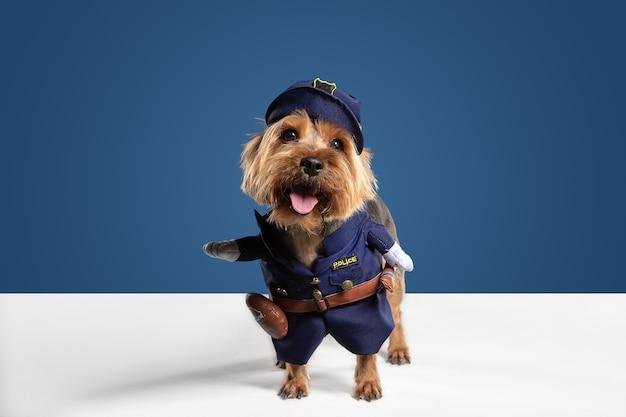 경찰관, 경위. 요크셔 테리어 강아지 포즈입니다. 귀여운 장난 갈색 검은 강아지 또는 애완 동물 블루 스튜디오 배경에서 재생. 모션, 액션, 움직임, 애완 동물 사랑의 개념. 기뻐하고 재미있어 보입니다.