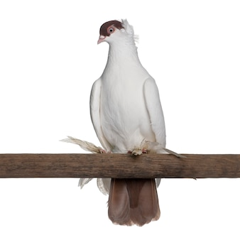 Polish helmet or kryska polska, a breed of fancy pigeon, perched on stick